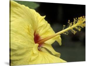 Hibiscus, Maui, Hawaii, USA by Darrell Gulin