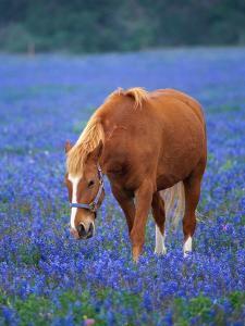 Horse Standing Among Bluebonnets by Darrell Gulin