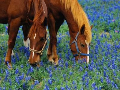 Horses Grazing Among Bluebonnets by Darrell Gulin