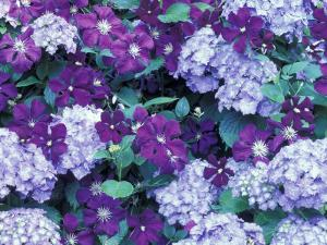 Hydrangea and Clematis, Issaquah, Washington, USA, by Darrell Gulin