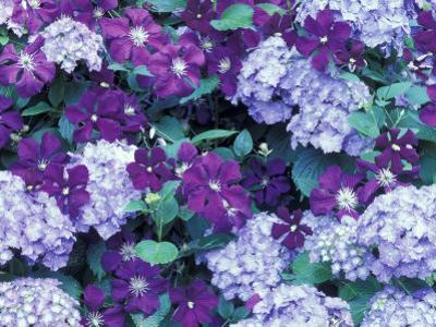 Hydrangea and Clematis, Issaquah, Washington, USA,