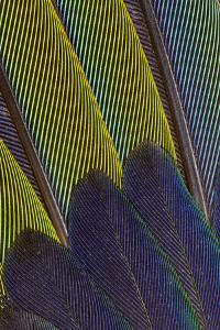 Jenday Conure Wing Feather Detail by Darrell Gulin