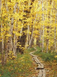 Jessup Trail and Birch in Fall Color, Acadia National Park, Maine, USA by Darrell Gulin