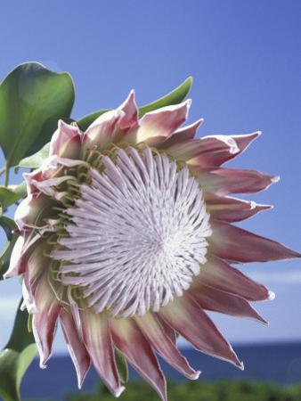 King Protea with Blue Sky, Maui, Hawaii, USA