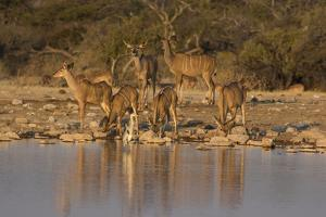 Kudo small grouping evening light waters edge, Etosha National Park by Darrell Gulin