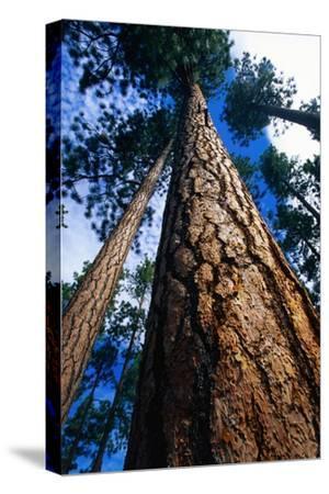 Looking Up a Ponderosa Pine Tree