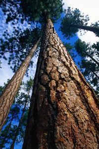 Looking Up a Ponderosa Pine Tree by Darrell Gulin