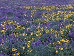 Lupine and Balsamroot on Hillsides, Dulles, Washington, USA by Darrell Gulin