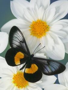 Miyana Meyeri Butterfly on Flowers by Darrell Gulin