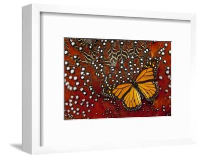 Monarch Butterfly on Tragopan Body Feather Design