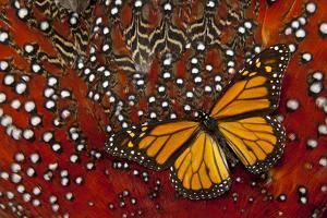 Monarch Butterfly on Tragopan Body Feather Design by Darrell Gulin