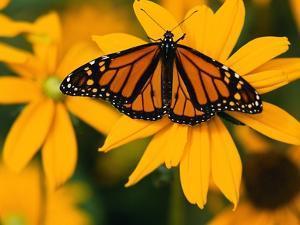 Monarch Butterfly on Yellow Flower by Darrell Gulin