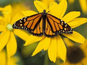 Monarch on Mexican Sunflower in the Woodland Park Zoo, Seattle, Washington, USA by Darrell Gulin