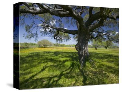 Oak Trees and Wildflowers Bloom Near Cuero, Texas, USA