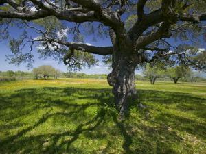 Oak Trees and Wildflowers Bloom Near Cuero, Texas, USA by Darrell Gulin