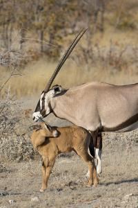 Oryx and young Etosha National Park, Namibia by Darrell Gulin