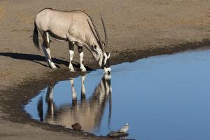 Oryx reflection in waterhole, Etosha National Park by Darrell Gulin