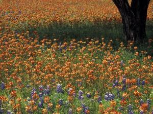Paintbrush and Tree Trunk, Hill Country, Texas, USA by Darrell Gulin
