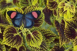 Painted Beauty Butterfly from the Amazon Region, Batesia Hypochlora by Darrell Gulin