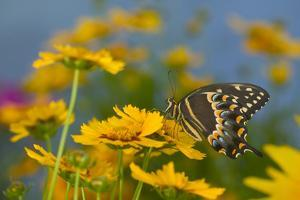 Palmedes Swallowtail by Darrell Gulin