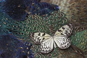 Paper Kite Butterfly on Breast Feathers of Ring-Necked Pheasant Design by Darrell Gulin