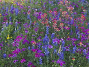 Phlox, Blue Bonnets and Indian Paintbrush Near Brenham, Texas, USA by Darrell Gulin
