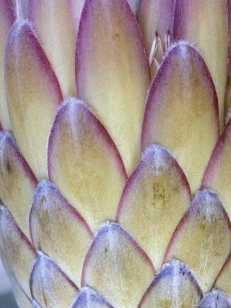 Protea, Maui, Hawaii, USA
