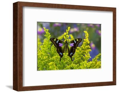 Purple Spotted Swallowtail Butterfly, Graphium Weskit