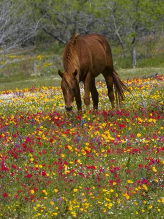 Quarter Horse in Wildflower Field Near Cuero, Texas, USA by Darrell Gulin