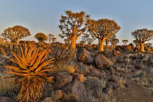 Quiver trees landscape, Namibia by Darrell Gulin