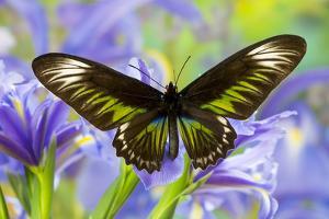 Rajah Brooke's Birdwing Butterfly Female, Trogonoptera Brookiana by Darrell Gulin