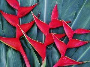 Red Heliconia Flowers by Darrell Gulin