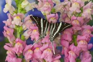 Rhesus Swallowtail Butterfly, Graphium Rhesus by Darrell Gulin