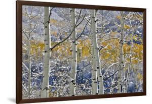 Rocky Mountains aspen grove autumn snows, Keebler Pass, Colorado. by Darrell Gulin