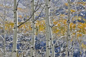 Rocky Mountains aspen grove autumn snows, Keebler Pass, Colorado. by Darrell Gulin
