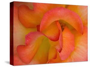 Rose Bloom, Woodland Park Zoo, Rose Garden, Seattle, Washington, USA by Darrell Gulin