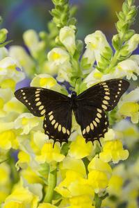 Scamander Swallowtail Butterfly from Brazil, Papilio Scamander by Darrell Gulin