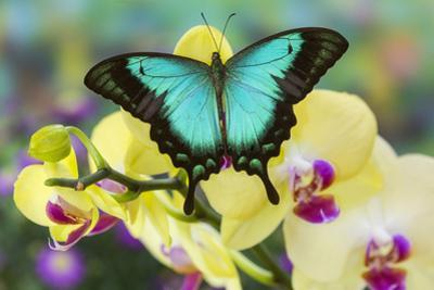 Sea Green Swallowtail Butterfly, Papilio Lorquinianus