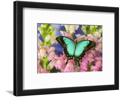 Sea Green Swallowtail Butterfly, Papilio