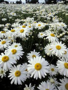 Shasta Daisy Crop, near Silverton, Oregon, USA by Darrell Gulin
