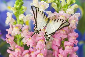 Short-Lined Kite Swallowtail Butterfly, Eurytides Agesilaus Autosilaus by Darrell Gulin