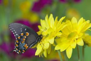 Spicebush Swallowtail by Darrell Gulin