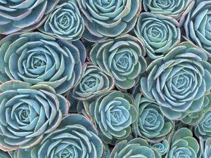 Succulents by Darrell Gulin