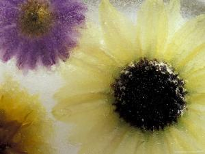 Sunflower and Aster Frozen in Ice, Issaquah, Washington, USA, by Darrell Gulin