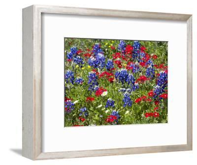 Texas Blue Bonnets and Red Phlox in Industry, Texas, USA