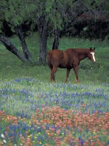 Texas Paintbrush and Bluebonnets, East of Lytle Horse, Texas, USA by Darrell Gulin