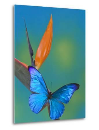 The Blue Morpho on Bird of Paradise
