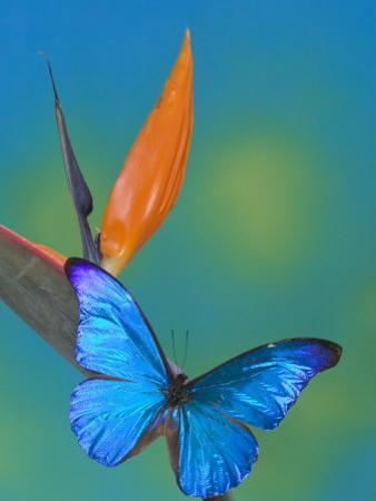 The Blue Morpho on Bird of Paradise