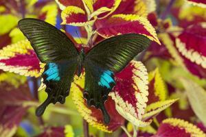 The Common Peacock Swallowtail Butterfly, Papilio Polyctor by Darrell Gulin