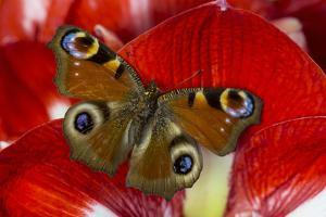 The European Peacock Butterfly, Inachis Io by Darrell Gulin